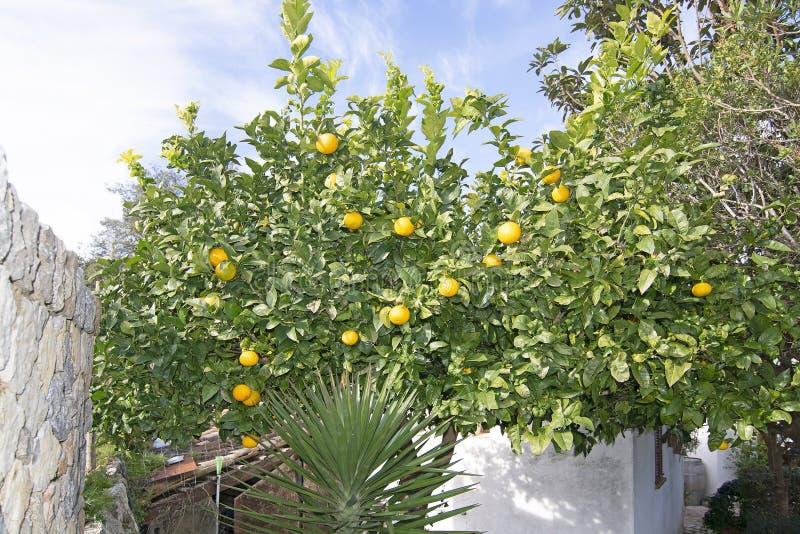 Árvore de limão com frutos maduros dentro de um jardim obstruído fotos de stock royalty free