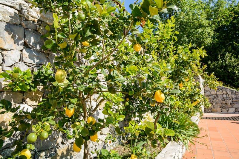 Árvore de limão com frutos maduros em um jardim italiano perto do mar Mediterrâneo, Itália fotografia de stock