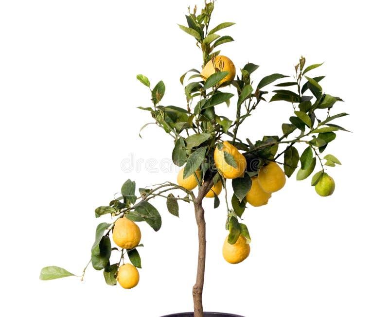 Árvore de limão GRANDE - isolada imagem de stock royalty free