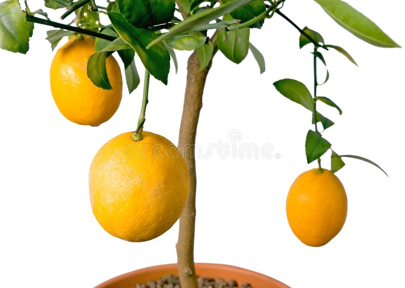 Árvore de limão GRANDE - isolada foto de stock royalty free