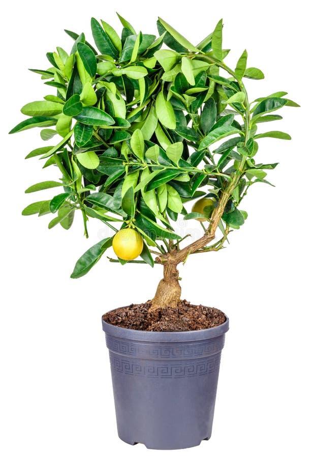 Árvore de limão isolada no branco fotografia de stock royalty free