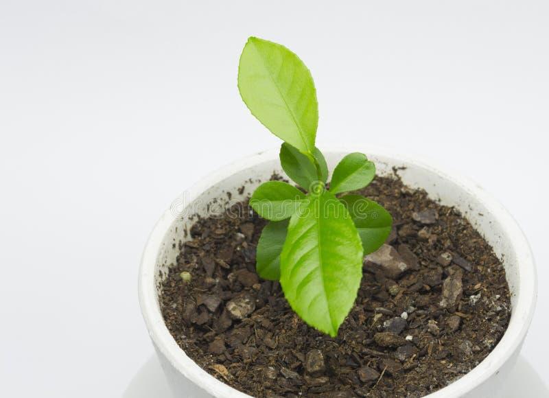 Árvore de limão no potenciômetro imagem de stock