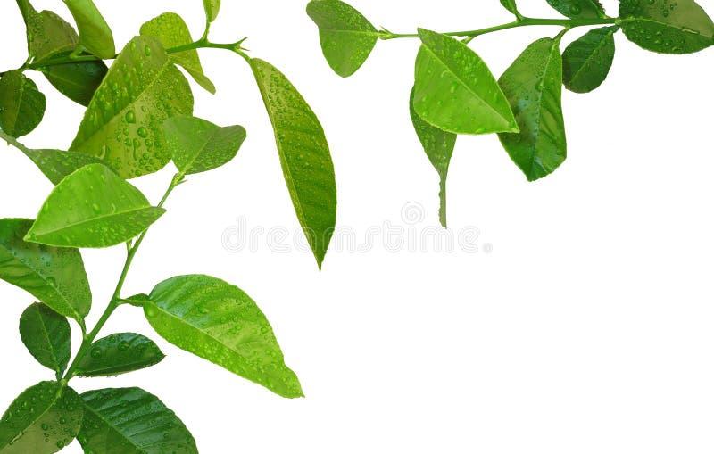 Árvore de limão nova fotografia de stock