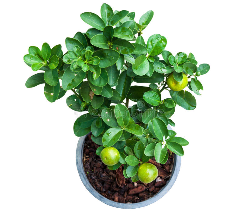 Árvore de limão nova isolada no potenciômetro fotografia de stock
