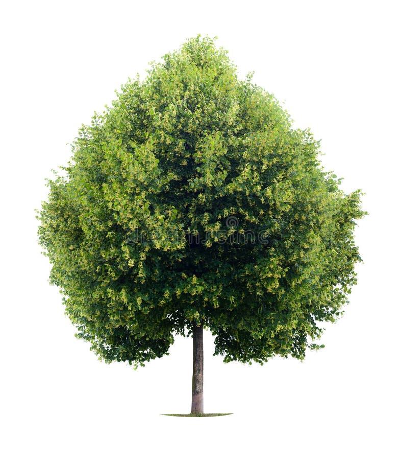 Árvore de Linden dada forma coração imagens de stock royalty free