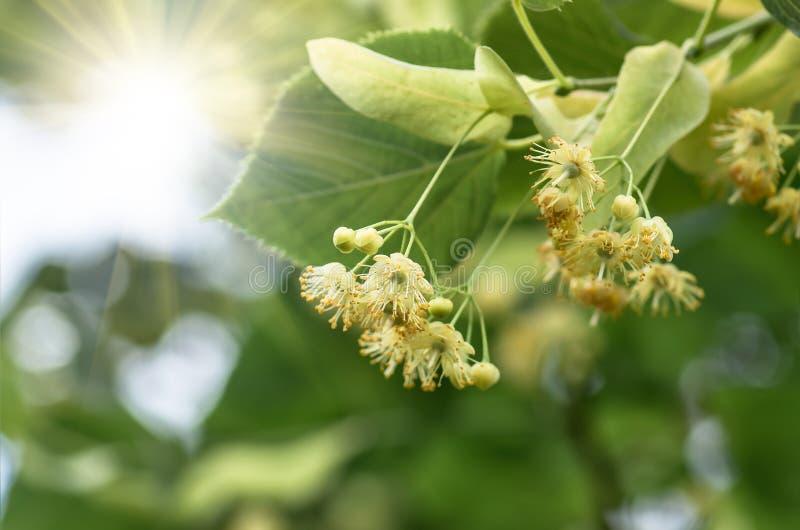 Árvore de Linden de florescência da árvore das flores, mola imagens de stock