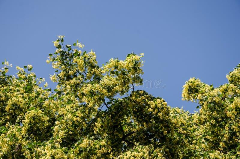 Árvore de Linden de florescência contra o céu azul imagem de stock