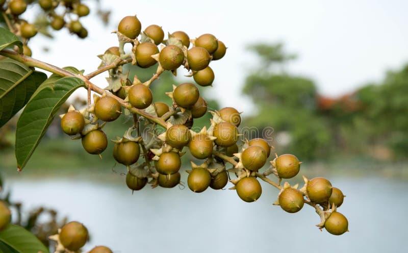Árvore de Linn dos repens de Duranta imagens de stock royalty free