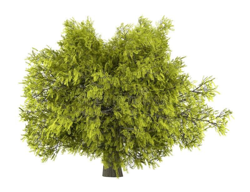 Árvore de locustídeo do mel isolada no branco ilustração stock