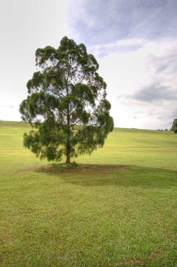 Árvore de Loney fotos de stock
