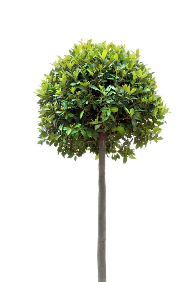 Árvore de louro fotos de stock