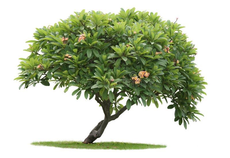Árvore de Luntom com flores fotos de stock