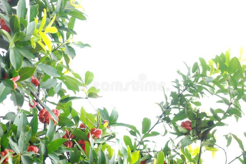 Árvore de maçã da cera imagens de stock