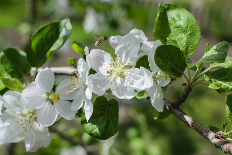 Árvore de maçã das flores brancas com abelha fotografia de stock