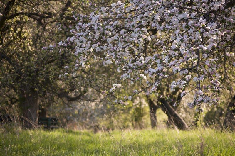 Árvore de maçã de florescência da mola bonita imagem de stock royalty free