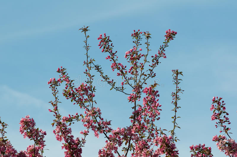 Árvore de maçã do caranguejo na flor completa fotografia de stock royalty free