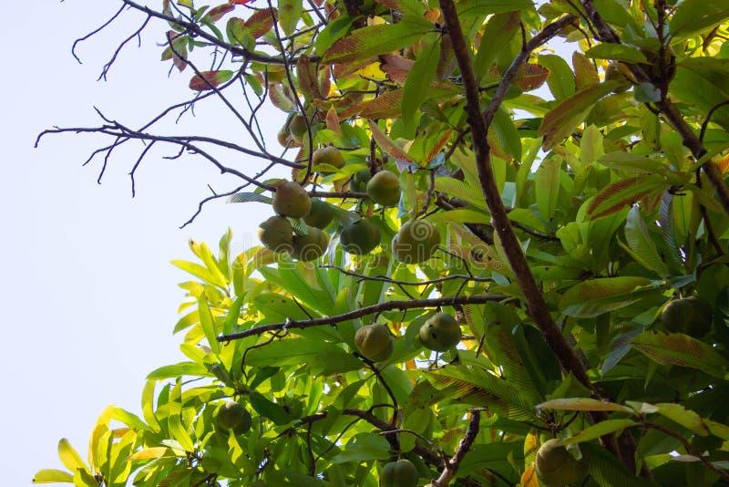 Árvore de maçã do elefante fotos de stock