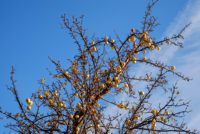 A árvore de maçã dourada foto de stock