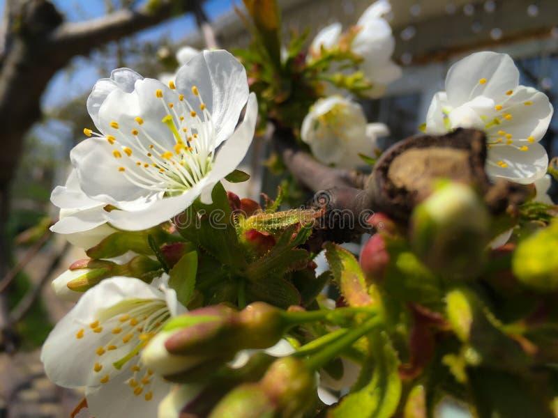 Árvore de maçã de florescência; flores brancas bonitas, campo raso foto de stock