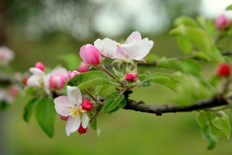 Árvore de maçã de florescência na mola imagem de stock royalty free