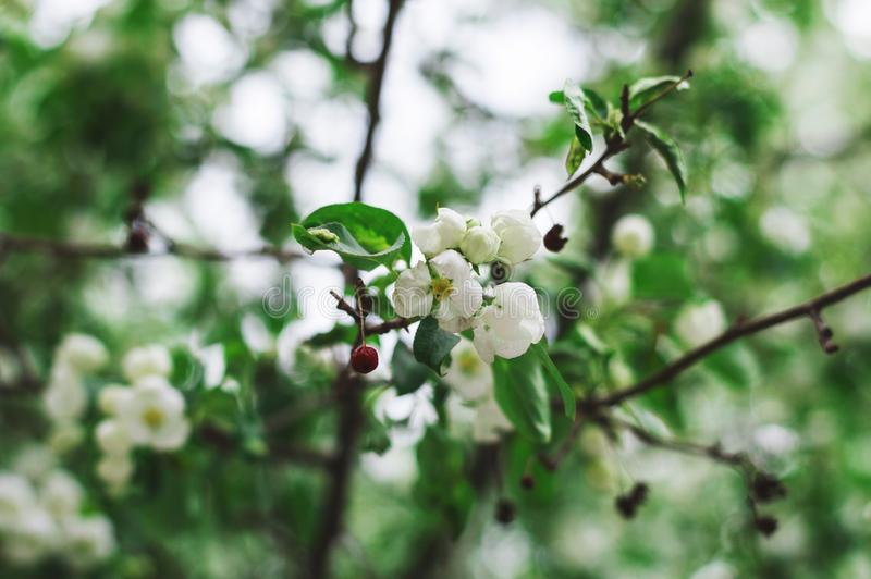 Árvore de maçã de florescência na mola Flores brancas de florescência da maçã fotografia de stock