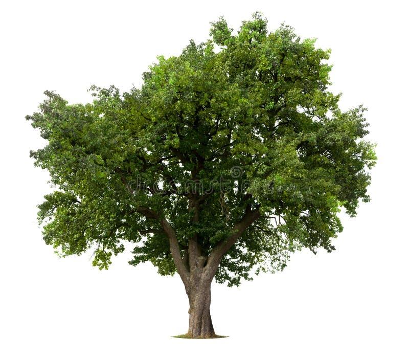 Árvore de maçã isolada fotos de stock