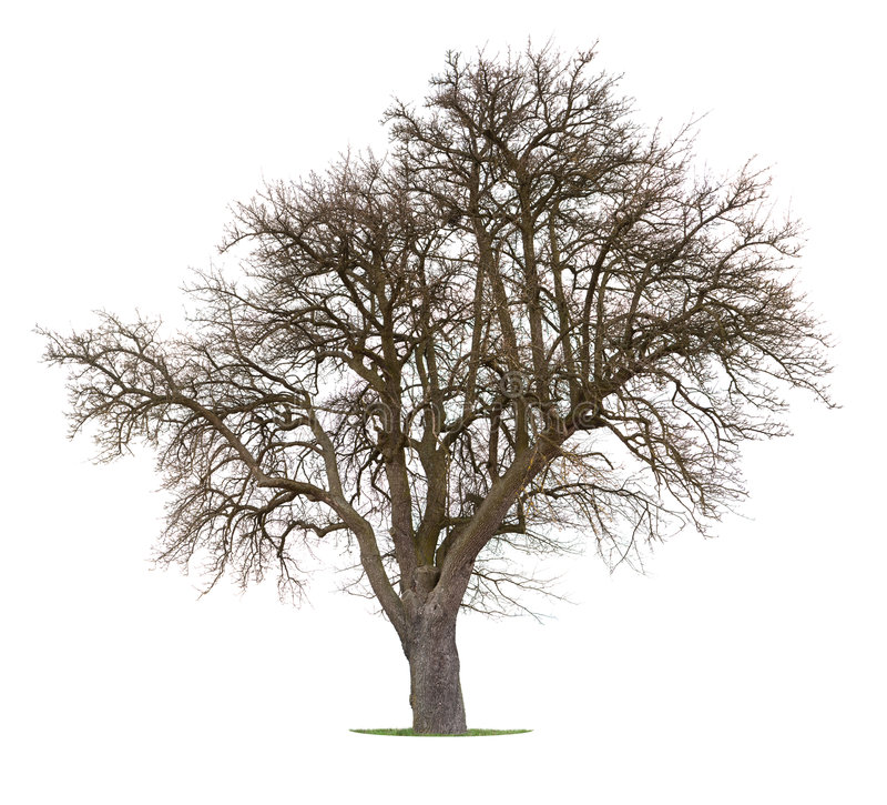 Árvore de maçã isolada fotografia de stock