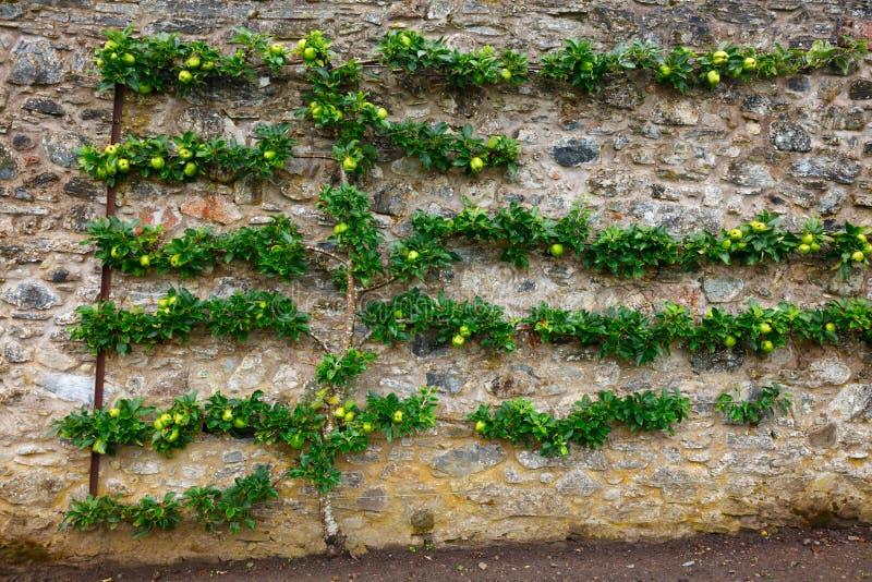 Árvore de maçã mais espalier horizontal foto de stock royalty free