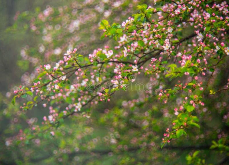 Árvore de maçã selvagem que floresce na mola fotos de stock