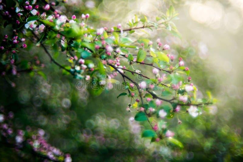 Árvore de maçã selvagem que floresce na mola foto de stock