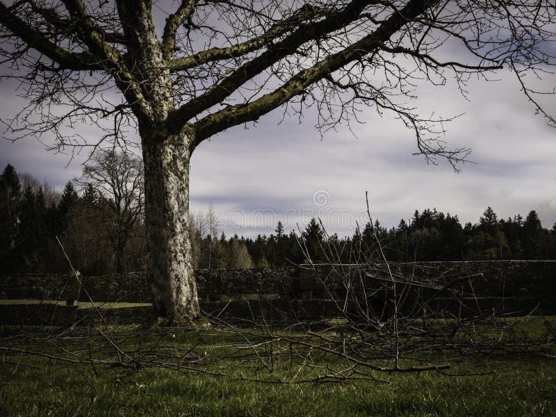 Árvore de maçã velha após a poda com lotes de ramos cutted imagens de stock royalty free
