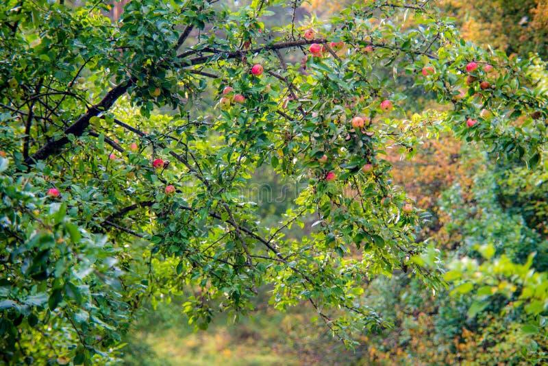 Árvore de maçãs selvagens na queda com frutos imagens de stock