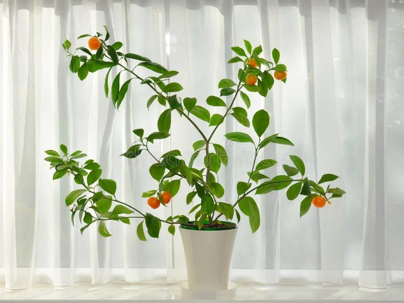 Árvore De Mandarino Com Fruta Madura Na Borda Do Indicador Imagens de Stock Royalty Free