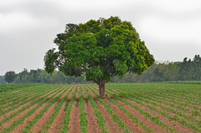 Árvore de manga verde na exploração agrícola da mandioca foto de stock