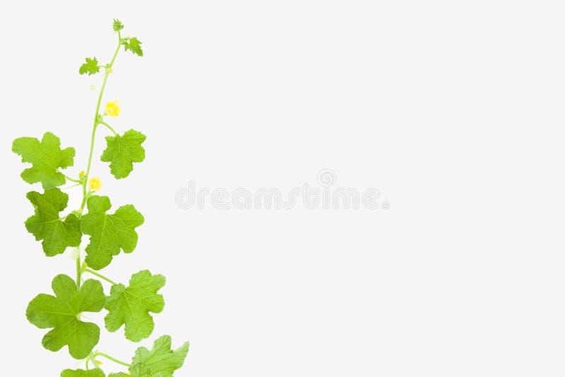 Árvore de melão no fundo branco fotos de stock royalty free