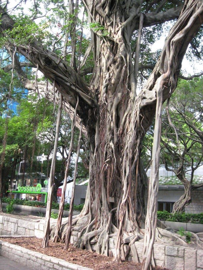 Árvore de Microcarpus do ficus, rua de Nathan, Tsim Sha Tsui imagens de stock
