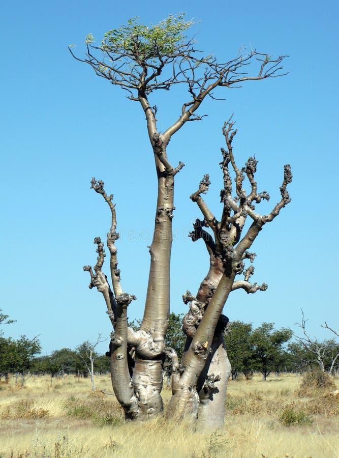 Árvore de Moringa - Sprokieswoud foto de stock