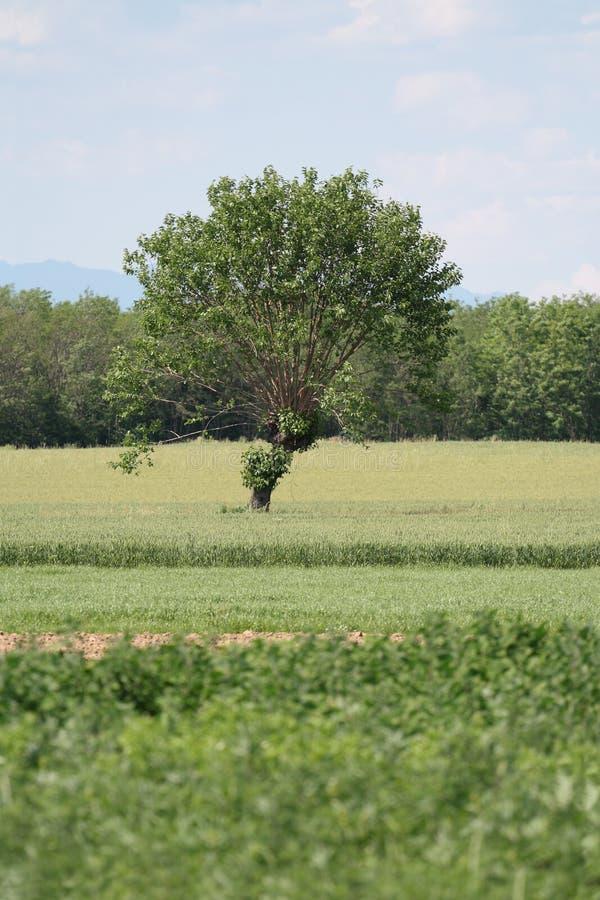 Árvore de Mulberry foto de stock