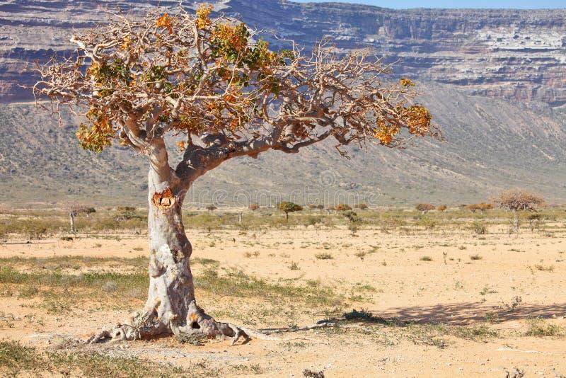 Árvore de Myrrh imagem de stock