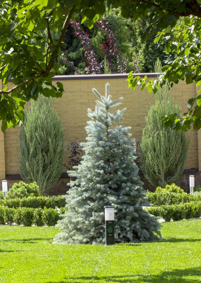 Árvore de Natal azul no gramado verde perto da casa de campo imagem de stock royalty free