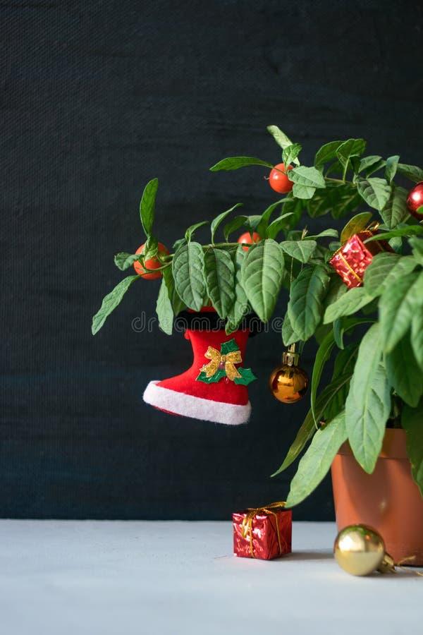 Árvore de Natal do Nightshade com a bota vermelha, a bola e a caixa de presente do Xmas Nightshade verde da planta de potenciômet fotos de stock