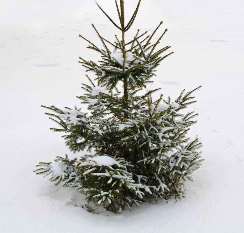 Árvore de Natal perfeita na neve fresca fotografia de stock royalty free