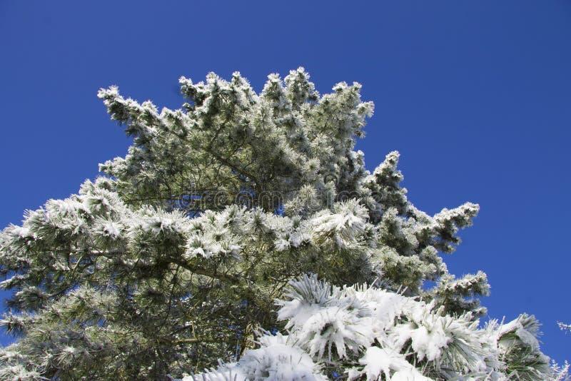 Árvore de Natal sob a neve no ramo imagens de stock