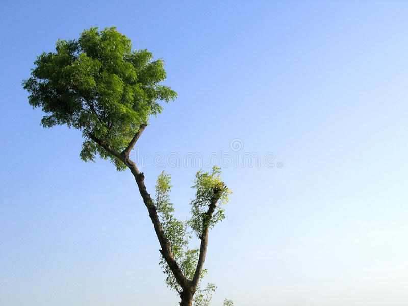 Árvore de Neem foto de stock royalty free