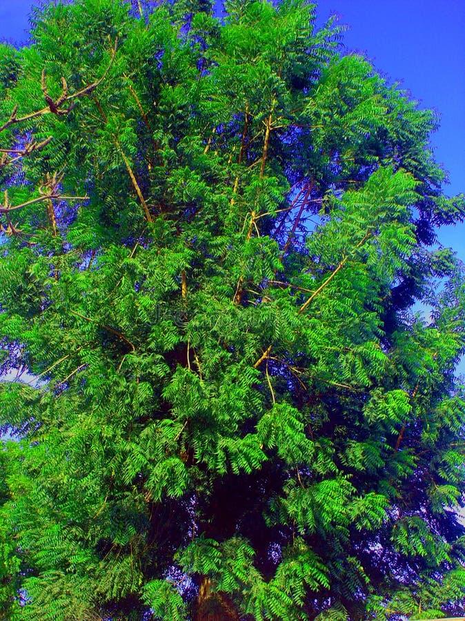 Árvore de Neem fotografia de stock