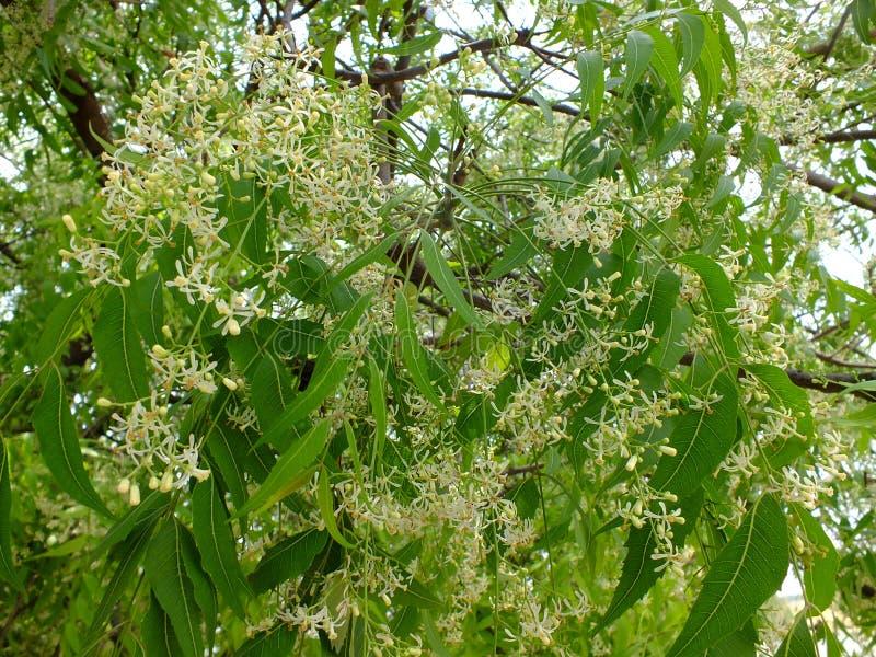 Árvore de Neem Azadirachta_indica com folhas do verde e as flores brancas fotos de stock royalty free