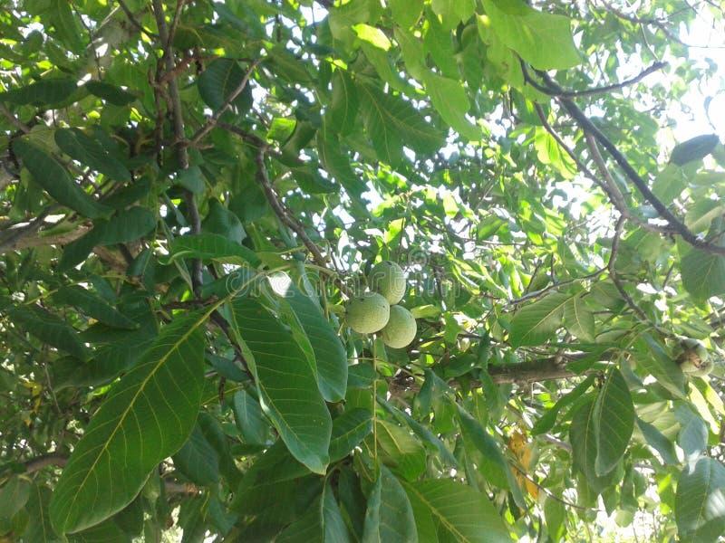 A árvore de noz em meu jardim imagem de stock royalty free
