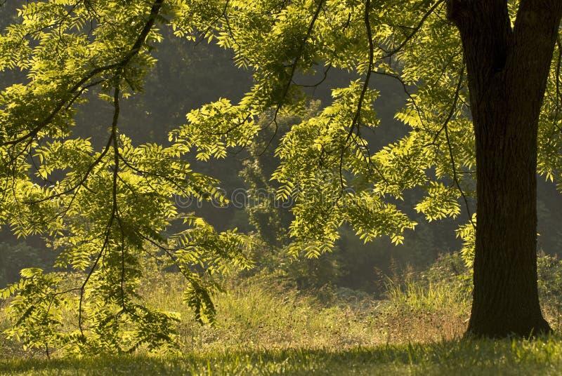 Árvore de noz retroiluminada imagens de stock royalty free