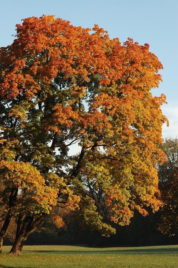 Árvore de Oktober inclinada leve por natureza fotos de stock royalty free