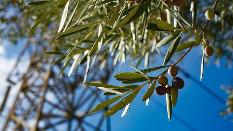Árvore de Ollive imagem de stock